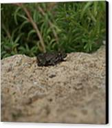 Frog On Rock Canvas Print by Corina Bishop