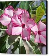 Fushia Oleander Near Phoenx Arizona 2 Canvas Print