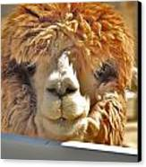 Fuzzy Wuzzy Alpaca Canvas Print by Helen Carson