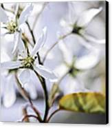 Gentle White Spring Flowers Canvas Print