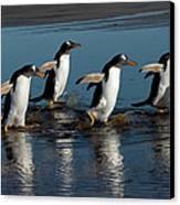 Gentoo Penguins Walking Canvas Print by Hiroya Minakuchi