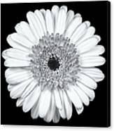Gerbera Daisy Monochrome Canvas Print by Adam Romanowicz