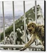 Gibraltar Monkey Canvas Print by Stefano Piccini