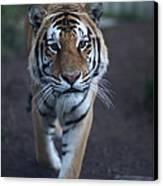 Go Get 'em Tiger Canvas Print by Brenda Schwartz