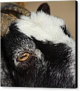 Goat 5d27189 Canvas Print by Wingsdomain Art and Photography