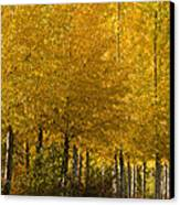 Golden Aspens Canvas Print by Don Schwartz