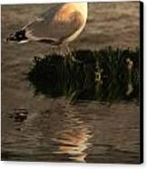 Golden Gull Canvas Print
