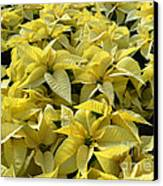 Golden Poinsettias Canvas Print