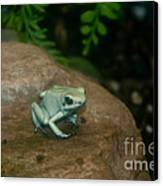Golden Poison Frog Mint Green Morph Canvas Print by Mark Newman