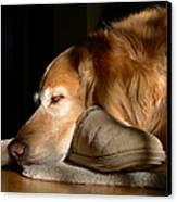 Golden Retriever Dog With Master's Slipper Canvas Print