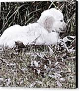 Golden Retriever Puppy 2 Canvas Print by Andrea Anderegg