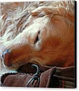 Golden Retriever Sleeping With Dad's Slippers Canvas Print