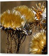 Golden Thistle Canvas Print by Bill Gallagher
