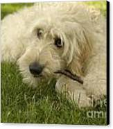 Goldendoodle Pup With Stick Canvas Print by Anna Lisa Yoder