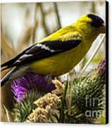 Goldfinch Atop A Purple Thistle Canvas Print by Darleen Stry
