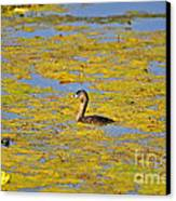 Gorgeous Grebe Canvas Print by Al Powell Photography USA