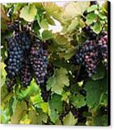 Grapevines #2 Canvas Print by Mia Capretta