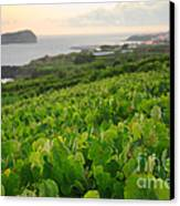 Grapevines And Islet Canvas Print by Gaspar Avila