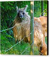 Grass Is Always Greener - Llama Canvas Print by Jordan Blackstone