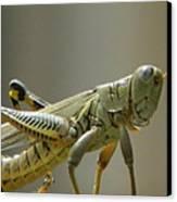 Grasshopper In Profile Canvas Print by David  Ortiz