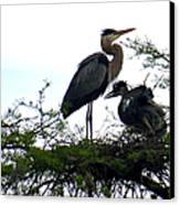 Great Blue Heron With Fledglings II Canvas Print
