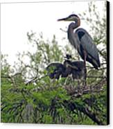 Great Blue Heron With Fledglings Canvas Print