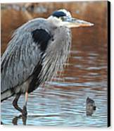 Great Blue Canvas Print by Thomas Pettengill