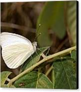 Great Southern White Butterfly Canvas Print by Rudy Umans