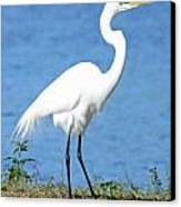 Great White Heron Canvas Print by Julie Cameron