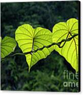 Green Leaves Canvas Print by William Voon