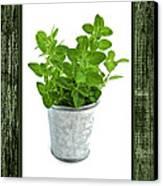 Green Oregano Herb In Small Pot Canvas Print