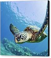 Green Sea Turtle - Maui Canvas Print