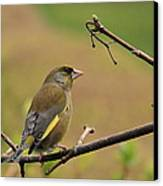 Greenfinch Canvas Print by Peter Skelton