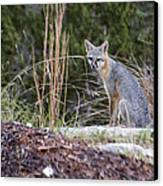 Grey Fox At Rest Canvas Print by Dana Moyer