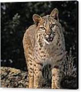 G&r.grambo Mm-00006-00275, Bobcat On Canvas Print