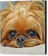 Griff Canvas Print by Lisa Phillips