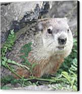 Groundhog Making Sure It Is Safe Canvas Print by John Telfer