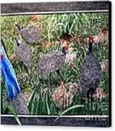 Guinea Fowl In Guinea Grass Canvas Print
