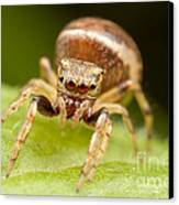 Hammerjawed Jumper I Canvas Print by Clarence Holmes