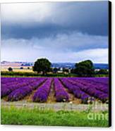 Hampshire Lavender Field Canvas Print by Terri Waters