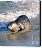 Harbor Seal Canvas Print by David Davis