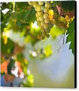 Harvest Time. Sunny Grapes V Canvas Print