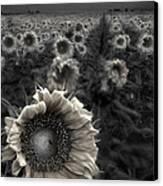 Haunting Sunflower Fields 1 Canvas Print