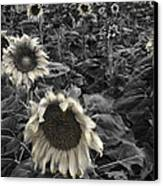 Haunting Sunflower Fields 2 Canvas Print by Dave Dilli