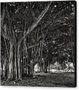 Hawaiian Banyan Tree Root Study Canvas Print by Daniel Hagerman