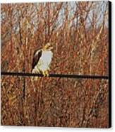 Hawk #22 Canvas Print by Todd Sherlock