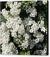Hawthorn In Bloom Canvas Print
