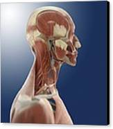 Head Anatomy, Artwork Canvas Print by Science Photo Library