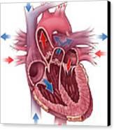 Heart Blood Flow Canvas Print by Evan Oto