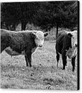 Hereford Portrait V In Black And White Canvas Print by Suzanne Gaff